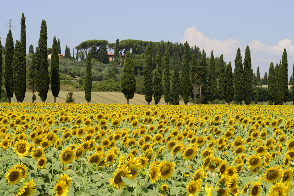 Sunflowers summer in Tuscany