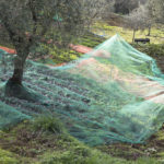Tuscany olive harvest