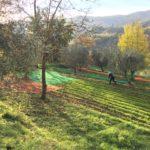 Olive harvest Tuscany