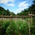 Sorana bean fields fagiola